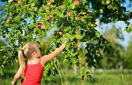 U Pick Apple Orchards Near Chicago - KidTrail Pick